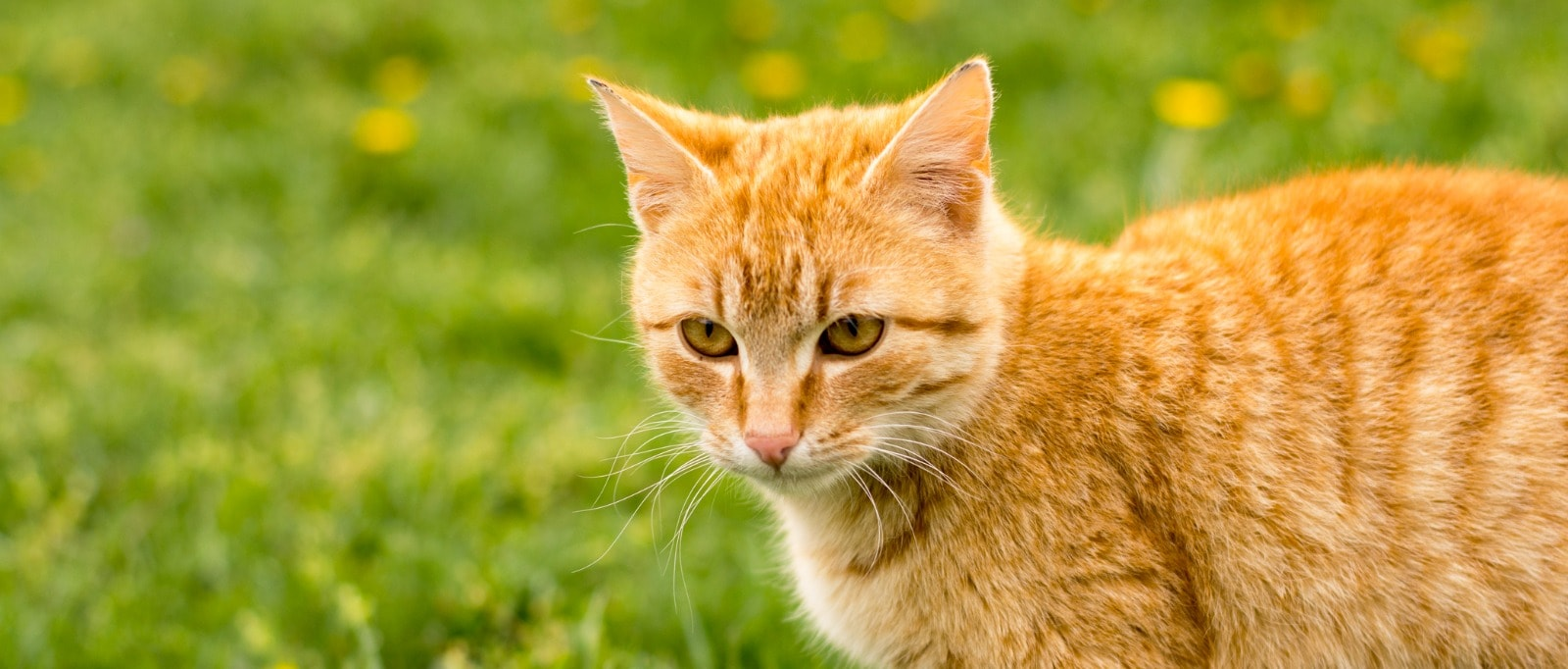 Urinary Oxalate for Cats