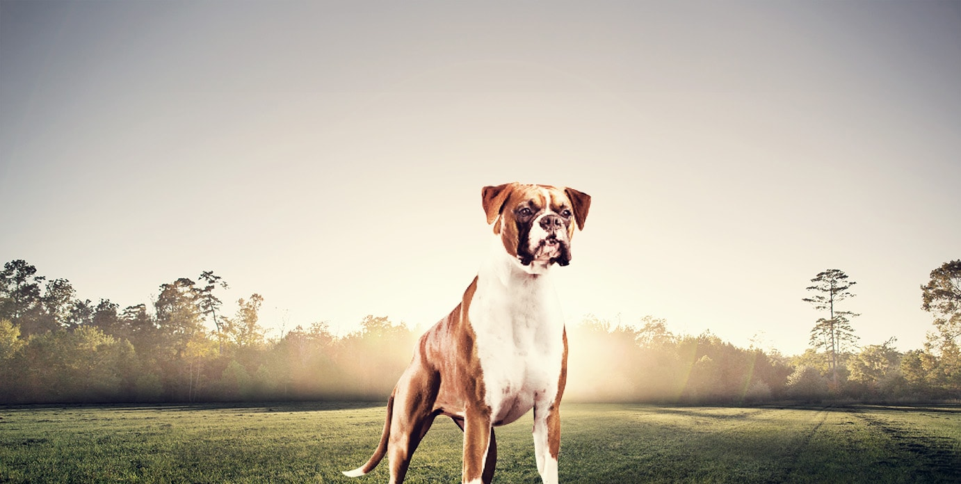 Dry Dog Food For Boxers