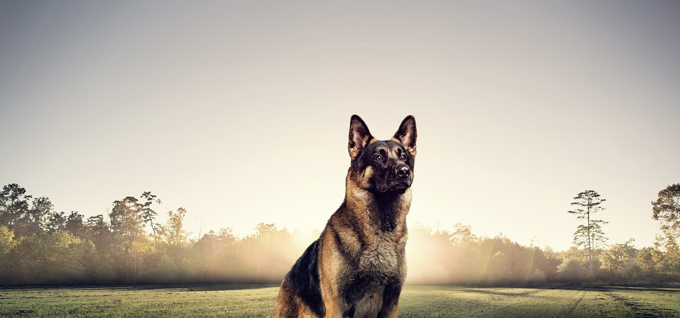 Dry Dog Food For German Shepherds