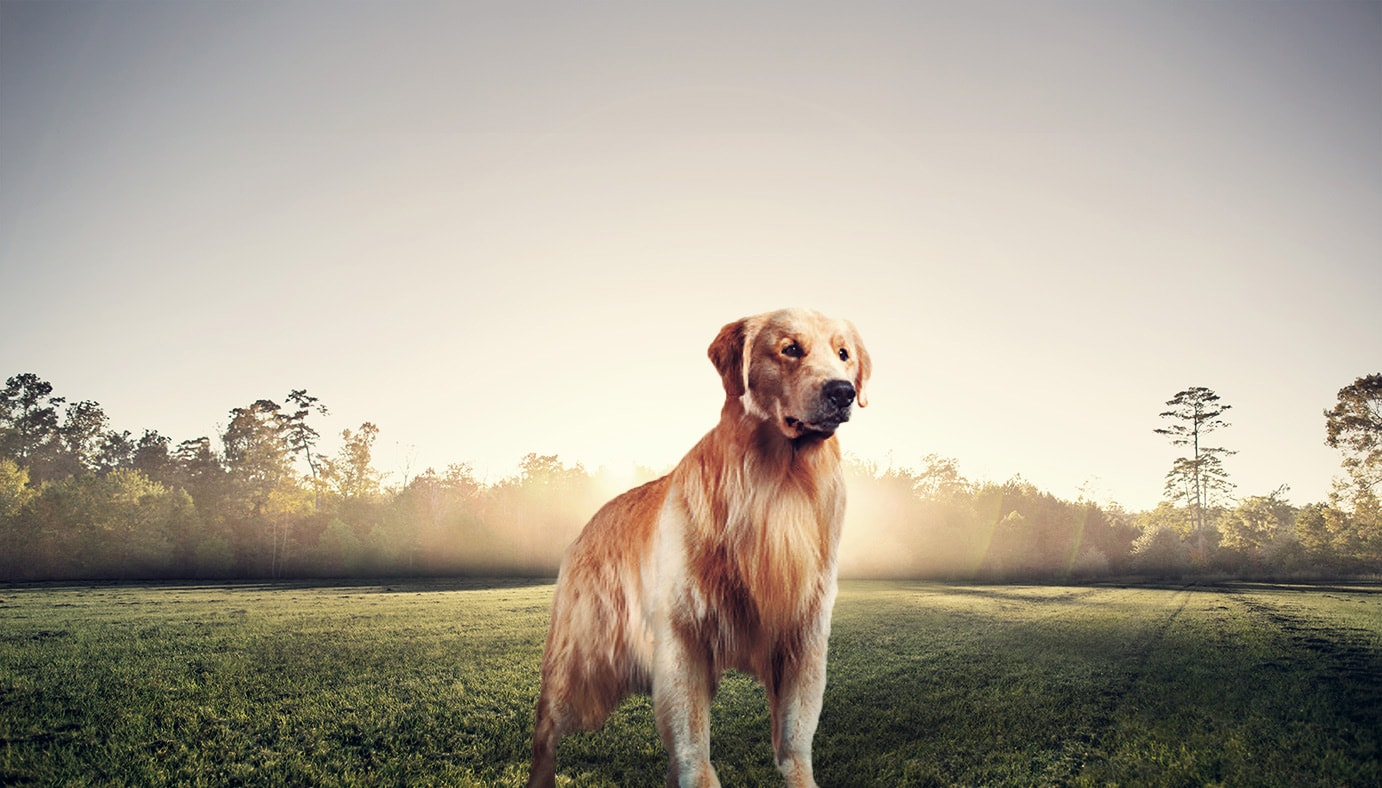 Alimento secco per Golden Retriever