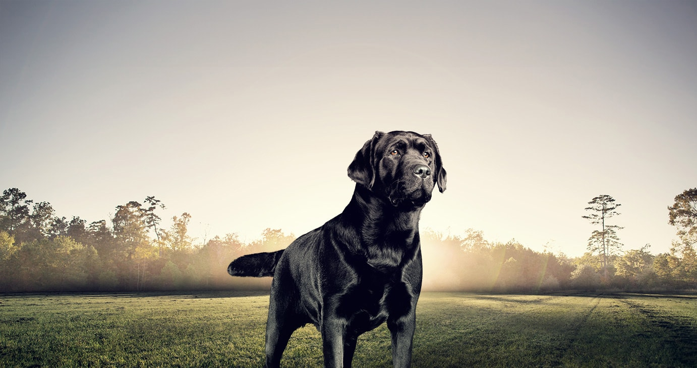 Adult Dry Dog Food For Labrador Retrievers