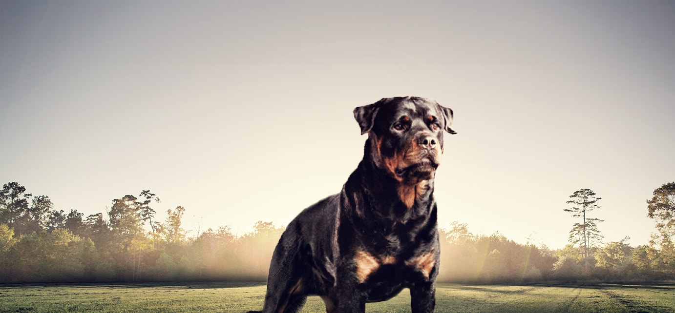 Dry Dog Food For Rottweilers