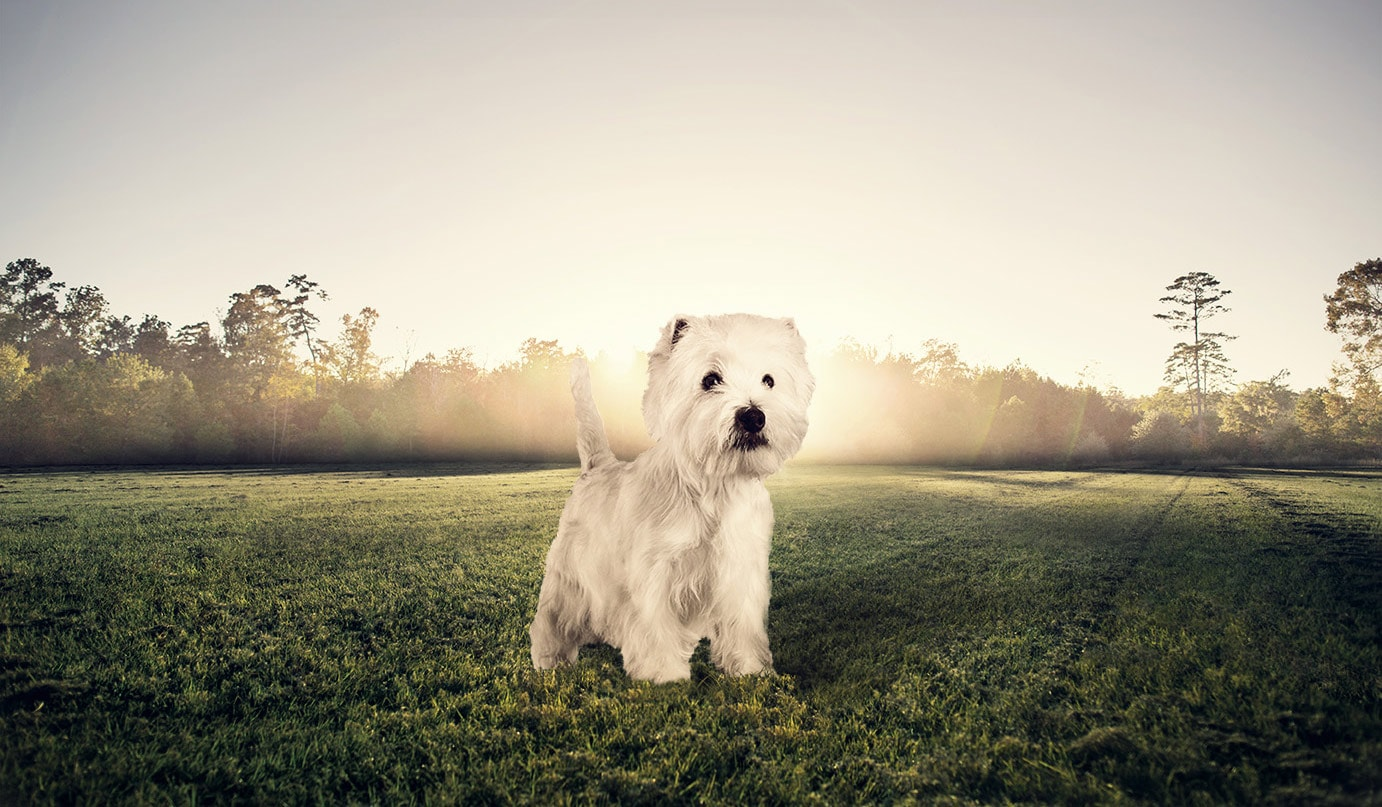 Aliments secs pour chiens de race West Highland White Terrier