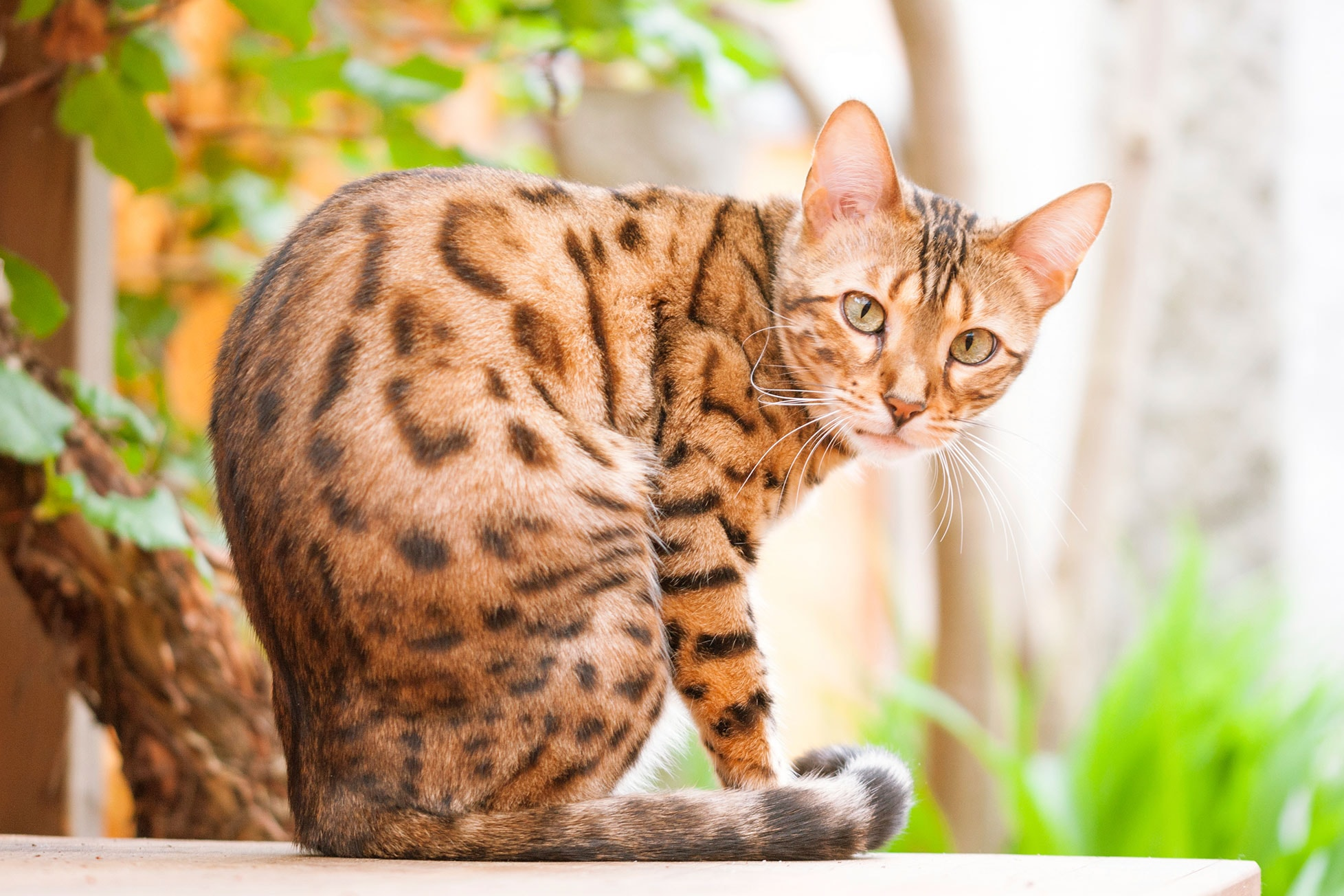 Good Food For Bengal Cats